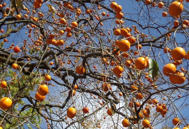 모과나무.jpg